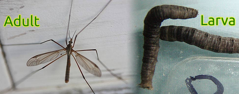 Pest Alert!  European Crane Fly Introduced to Maine