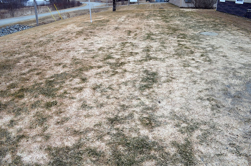 What are the white & pink patches in my lawn?