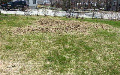 Spring Grub Damage!  What should I do?