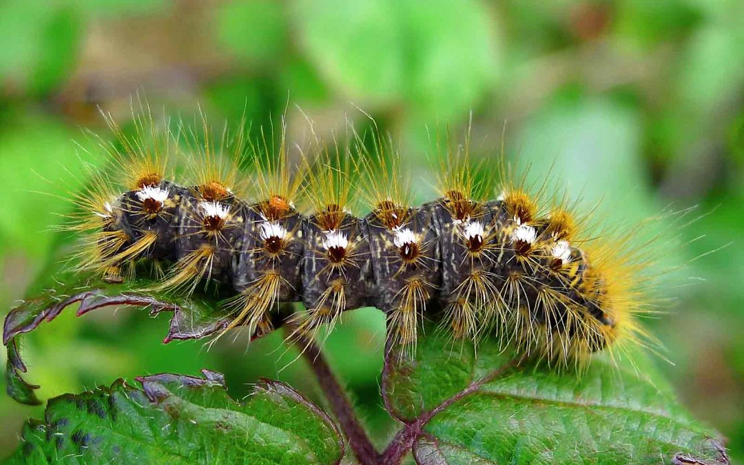 The Browntail Moth is spreading.  Here is what you need to know.